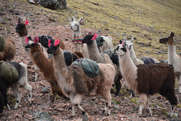 A pack of Llamas carry cargo along a trail in the Cordillera Vilcanota. Ausungate, Cusco, Peru
