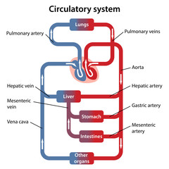 Diagram of human circulatory system with main parts labeled. Vector illustration