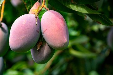 Cultivation of exotic sweet fruit mango in subtropical Malaga-Granada tropical coast region, Andalusia, Spain, ripe mango fruits in tree