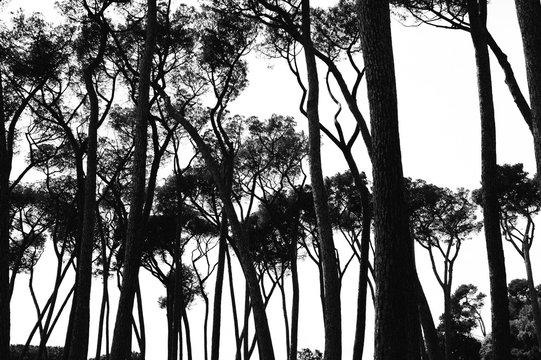 bw landscape - umbrella pines in italy