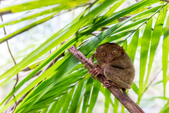Philippine tarsier sitting a a branch