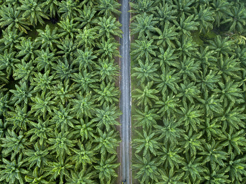 Aerial view of road passing through palm oil plantations