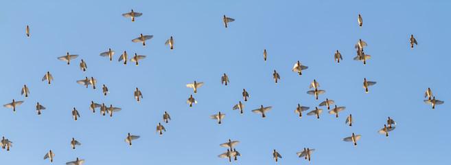 flock of birds flies overhead in the blue sky