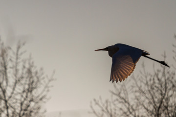 heron flies in the shade of trees with backlit wings