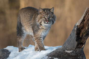 Fotomurales - Bobcat (Lynx rufus) Stands Next to Log Spur Winter