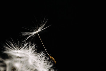 Close up side view of dandelion seed on black background
