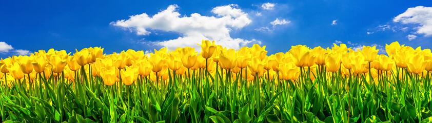 In de dag Tulp Gelb blühende Tulpen auf einem Feld