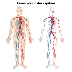 Human arterial and venous circulatory system. Vector illustration in flat style.
