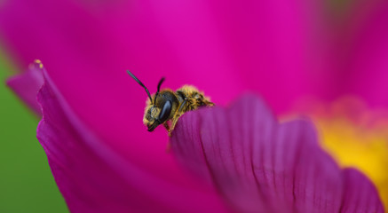 Close-up of a small wasp peeking out of a pink flower with its head and forefeet