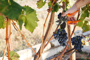 Man hand with scissors cutting grapes bunches in grape harvesting time for food or wine making. Cabernet Franc, Sauvignon, Grenache grapes. Fototapete