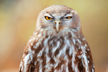 Photo sur Aluminium Chouette Barking owl with beautiful yellow eyes amongst nature.