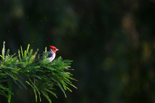 Cardenal de copete rojo - Paroaria coronata