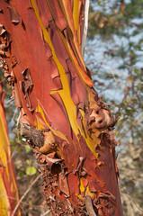 Bark on a madrona tree closeup