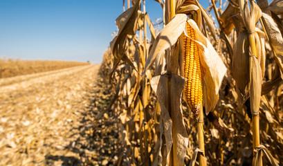 Ripe corn on the cob in a field