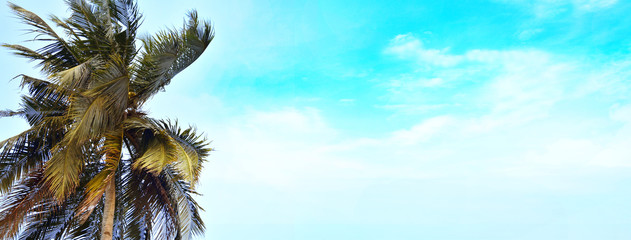 Coconut palm tree with blue sky background, copy space text area, wide composition.