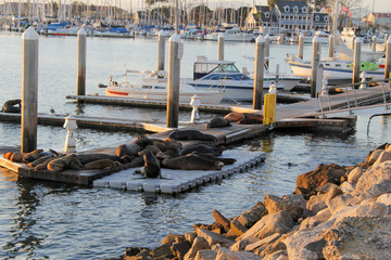 group of seals sea lions basking in the sun on dock in marina