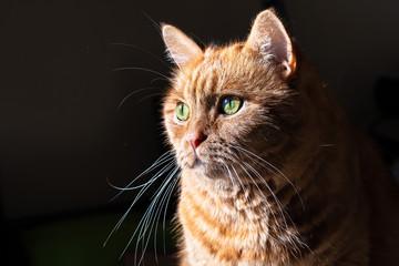 Orange cat (mixed breed; half Persian) with green eyes illuminated by bright sun; dark background Wall mural