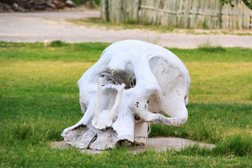 The huge skull of an elephant