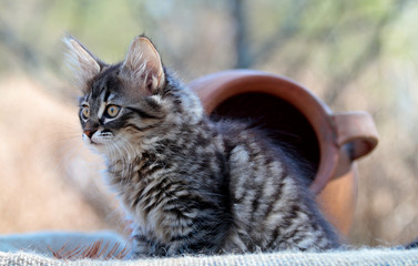 A black tabby three months old norwegian forest cat outdoors with a big brown clay pot