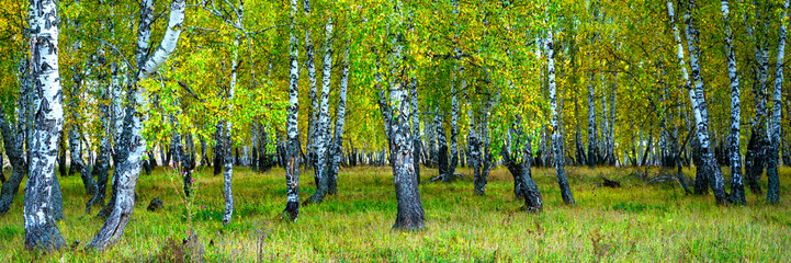 Summer scene in a birch forest lit by the sun. Summer landscape with green birch forest. White birches and green leaves.
