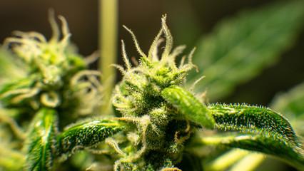 Macro photo of a trichome marijuana under a microscope. Chemical elements of tetracanabidiols