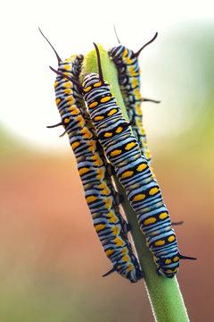 Chenille papillon monarque