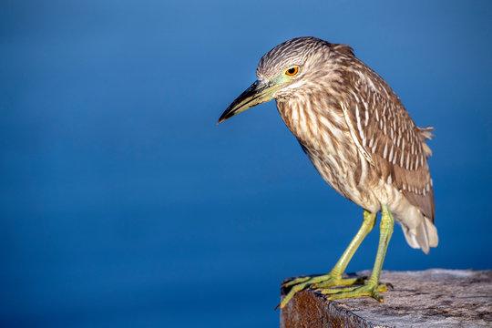 night heron close up portrait