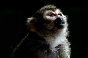 Common squirrel monkey portrait