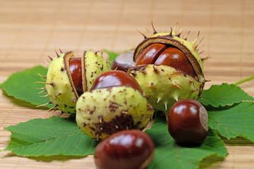 Früchte der Gemeinen Rosskastanie,  Aesculus hippocastanum