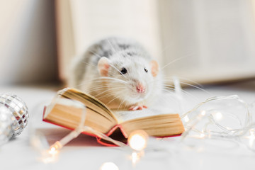 Cute white fancy rat reading small book in garland lights