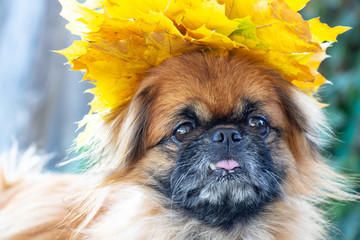 Pekingese dog with a wreath of yellow maple leaves on a dog's head in parks in autumn