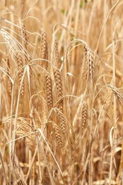 grano, campo di grano, luglio, estate