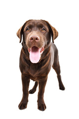 Cute Labrador puppy standing isolated on a white background