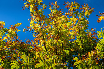 the autumn is coming - looking up to a chestnut tree