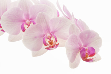 Photo sur Toile Orchidée Pale pink Phalaenopsis orchid commonly called a moth orchid isolated against a white background.