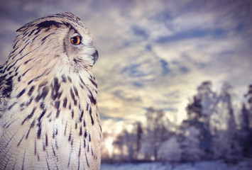 Fotoväggar - large owl near winter sunset forest