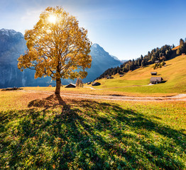 Canvas Prints Honey Golden tree on the Grindelwald village valley. Captivating morning view of Swiss Bernese Alps, Switzerland, Europe. Beauty of countryside concept background..