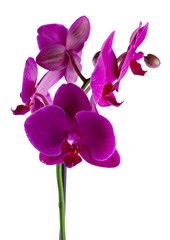 Beautiful violet or purple or magenta blossoms of orchid phalaenopsis isolated on a white background in macro lens shoot on a white background.