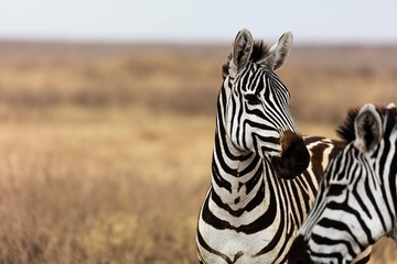 Poster Zebra profile of a zebra on grass plain
