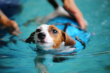 Jack Russell Terrier wear life jacket and swim in swimming pool. Dog swimming.