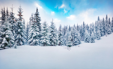 Cold winter morning in mountain forest with snow covered fir trees. Amazing outdoor scene of Carpathian mountains. Beauty of nature concept background.