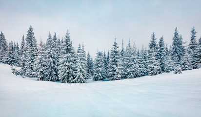 Cold winter morning in mountain foresty with snow covered fir trees. Retro srtyle outdoor scene of Carpathian mountains. Beauty of nature concept background.