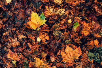 Top view of wet maple leaves on the ground