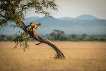 Obraz Cheetah stands on twisted tree in grassland - fototapety do salonu