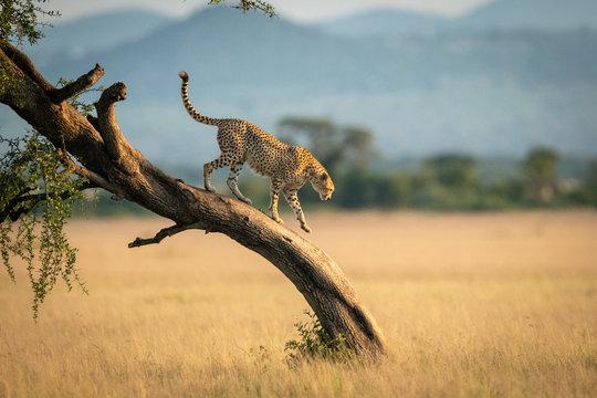 Cheetah walks down twisted tree in savannah