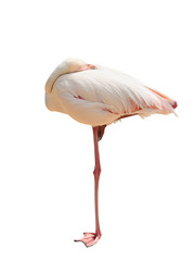 Foto op Plexiglas Flamingo pink flamingo sleeps on one leg isolated without shadow