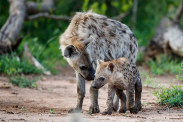 Hyena pup playing at the den with sunrise in Sabi Sands Game Reserve in South Africa