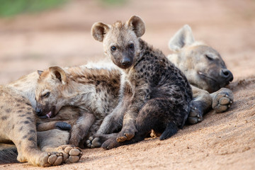 Garden Poster Hyena Hyena mothers with pup at the den with sunrise in Sabi Sands Game Reserve in South Africa