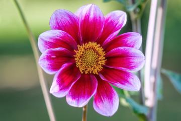 Detailed close up of a beautiful purple german Vielliebchen dahlia flower