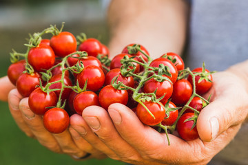 Farmers holding fresh tomatoes. Healthy organic foods